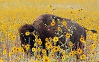 My thanks go out to Mr. Jim Bailey who has graciously allowed me to use his photograph of a buffalo